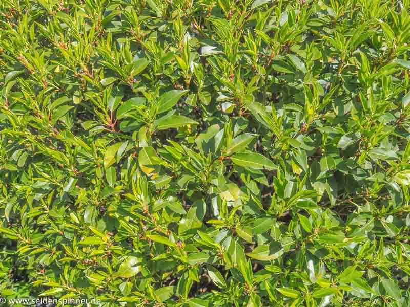 Blätter Portugiesischer Kirschlorbeer